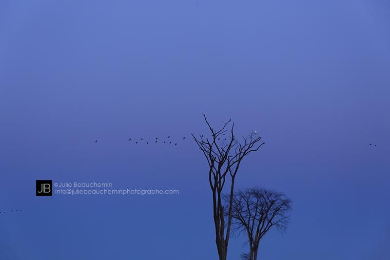 Les arbres, les oies et le harfang © Juile Beauchemin